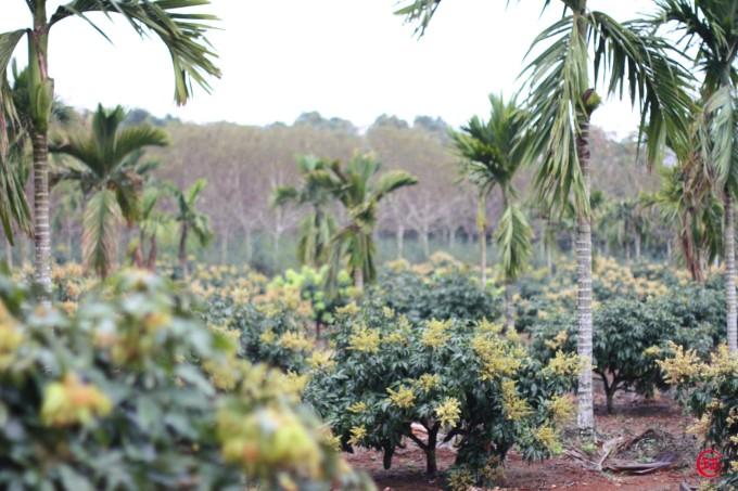带给我们甜蜜 ↑一大片荔枝园 ↑胡椒 也是海南的特产 ↑菠萝菠萝蜜