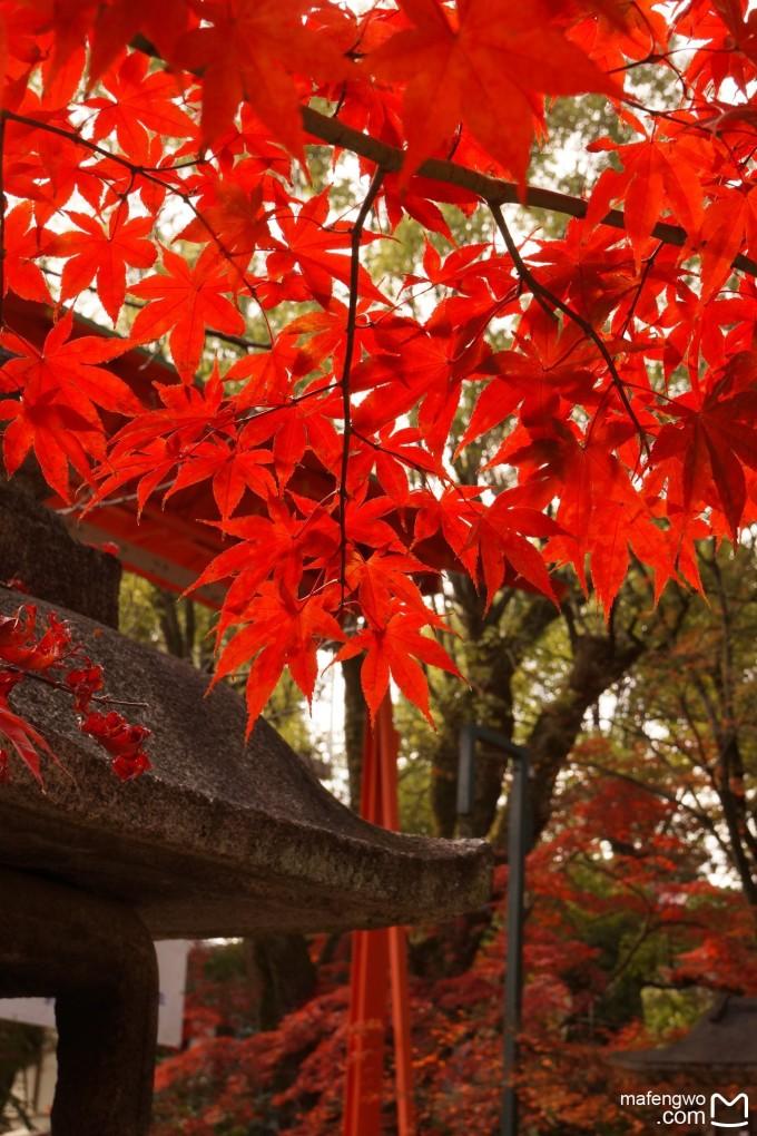 桃园的好友Z发给我的照片,秋日里那金黄的银杏树和火红的枫树深深吸引了我,再者,也想去领略下日本的精致。 9月初从欧洲回来,在消停了两个月后心里便又有些蠢蠢欲动了,一直骚动着却并无明确的目标,一直到了11月才想到了日本。而我唯一关心的是这个时节去能否实现我看红枫的愿望。经在网上查证及咨询旅行社的朋友,得到了基本肯定的答案后这计划便定了下来。但接下来又有了新问题,以往出行大多我一个人,这次无论如何不想再单漂了,于是想到了约Y结伴同行,出乎意料的是Y竟然爽快的同意了。特别是Y还是第一次出境旅行,所以我心里还是挺