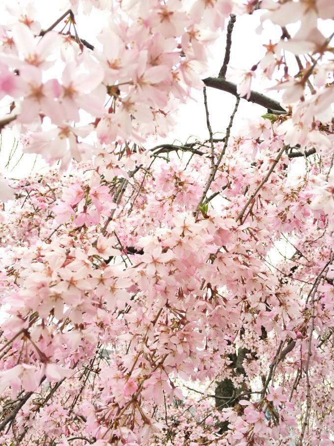 「东京赏樱吃美食」总要有一个看樱花的春天呀